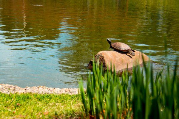 Suntanning Turtle