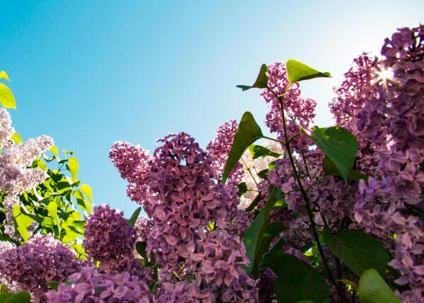 Lilacs in Vaxholm