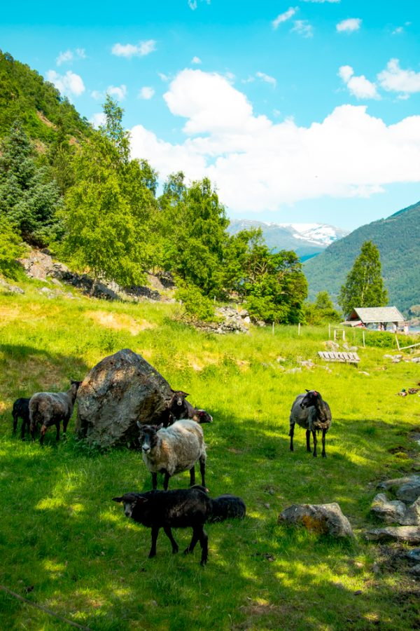 Sheep in Flam, Norway